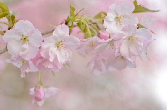 Această imagine are atributul alt gol; numele fișierului este la-sfarsitul-lunii-martie-cand-ultimele-raceli-de-iarna-scad-un-val-de-flori-de-cires-se-rostogoleste-pe-toate-insulele-japoneze..jpg