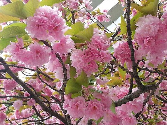 Această imagine are atributul alt gol; numele fișierului este primavara-vine-cand-toata-tara-este-vopsita-in-alb-si-roz.-asa-infloreste-sakura.-2.jpg