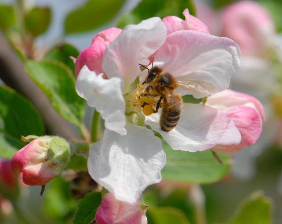 Această imagine are atributul alt gol; numele fișierului este albinele-aduna-daruri-din-flori.jpg